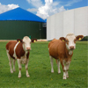 Cows on green field in front of biogas storage tanks